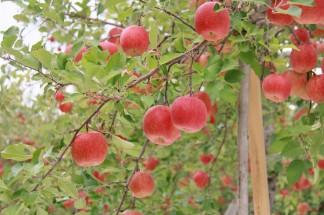 真っ赤に色づいたりんごが美しい