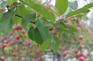 りんごの生長に欠かせない葉