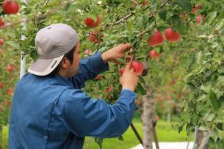 りんごの生長の様子をうかがう