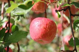 PLANET OF THE APPLES りんごの惑星 あずま農園のりんご