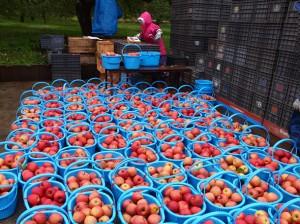 珍しいりんごの品種や旬のりんごを販売します!
