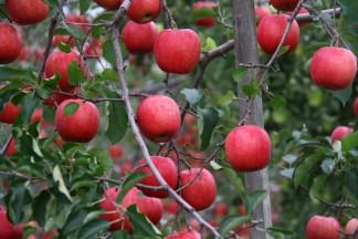 PLANET OF THE APPLES りんごの惑星 いっちゃん林檎農園のりんご