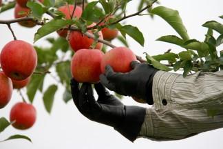 PLANET OF THE APPLES りんごの惑星 りんご