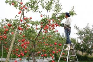 PLANET OF THE APPLES りんごの惑星 田中さんのりんご