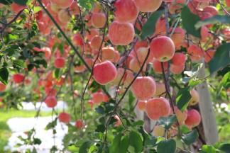RED APPLE(赤石農園)のりんごの様子