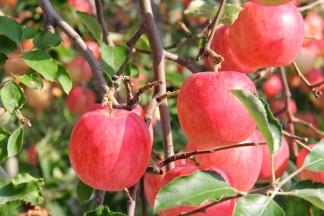 RED APPLE(赤石農園)のりんご